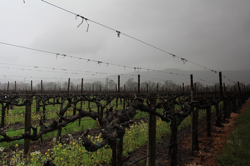 image of the vineyard found across the road from the Silver Oak Winery on Oakville Crossroad, Napa Valley