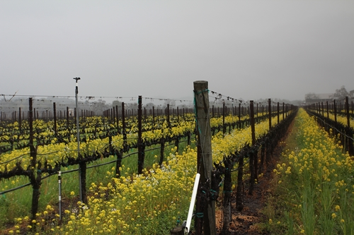 image of Flora Springs' Holy Smoke Vineyard in Oakville