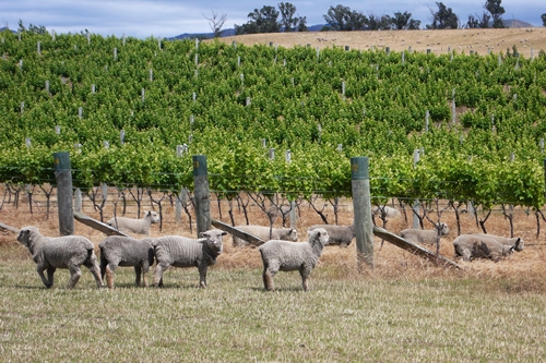 image of the baby-doll sheep at Peter Yealands' Seaview Vineyard in Marlborough