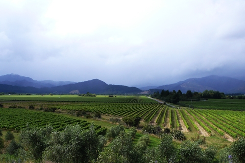 image of vineyards in the Marlborough Valley