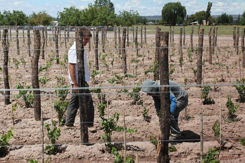 image of vineyard management, to train the growth of the vines at Vina Cobos