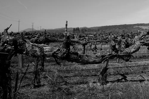 Vine in the Georges III Vineyard