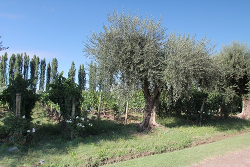 image of the vineyard and olive tree at Achaval Ferrer