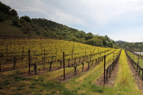 Schweizer Vineyards in the Stags Leap District